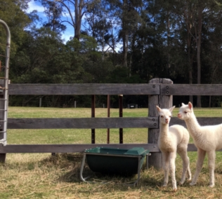 Little Valley Farm - Alpaca Farm