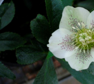 Helleborus Down Under