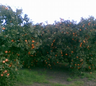 Schofields Orchard