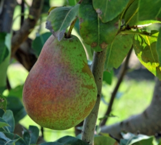 Pears (Nashi & Traditional)